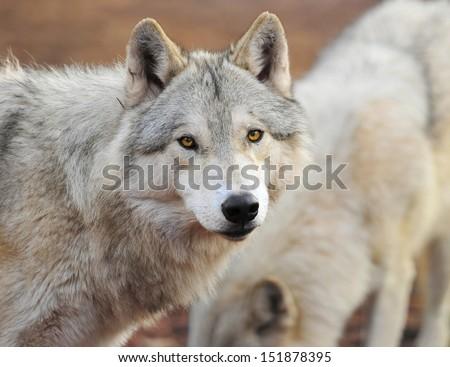 timber wolf head shot portrait looking, yellowstone national park, montana, usa. hunter wild dog predator  - stock photo