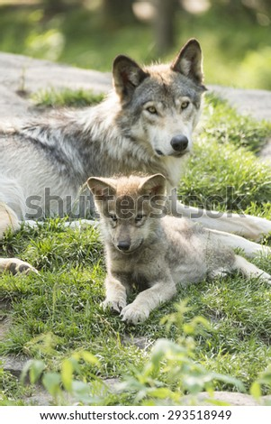 Timber wolf in summer