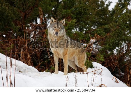 Timber wolf in the snow - stock photo