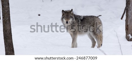 Timber wolf in the winter - stock photo