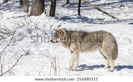 Timber wolf in winter - stock photo