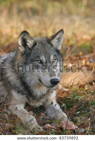 Timber wolf lying down.  Selective focus on the eyes of the wolf.