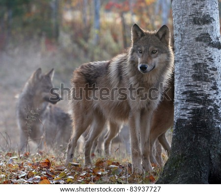 Timber wolf pack on cool, fall morning.  Soft focus, with shallow depth of field. Focus on the foreground. Backlit. - stock photo