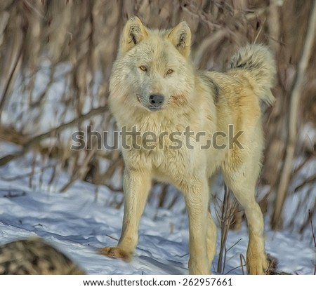 Timber wolf portrait, alpha female of pack. Digital oil painting. - stock photo
