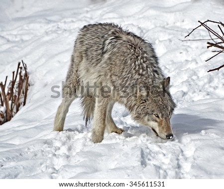 Timber Wolf scrounging for food  in snow covered field. - stock photo