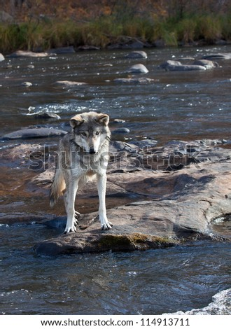 Timber wolf standing on a river rock, looking for food.  Autumn in Minnesota.