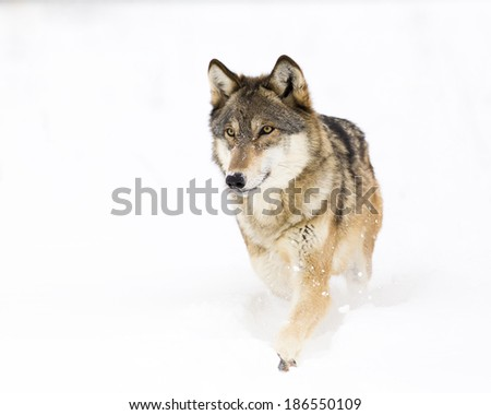 Timber Wolf walking in snow - stock photo