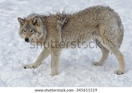 Timber Wolf walking  in snow covered  field - stock photo