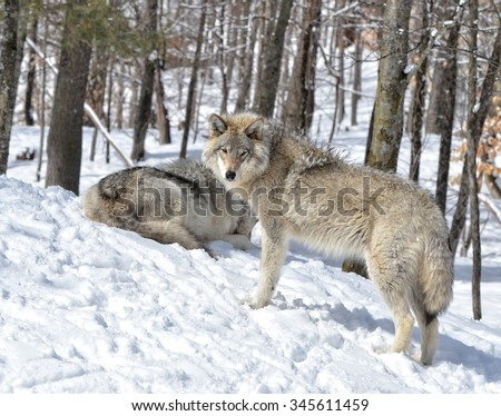 Timber Wolves in snow covered  forest - stock photo
