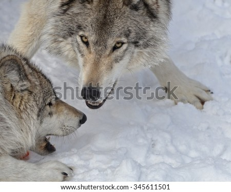 Timber Wolves playing in snow covered forest.