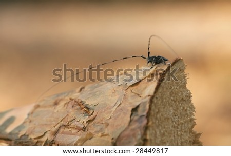 Timberman (acanthocinus aedilis) sittting  on a wooden log. - stock photo