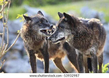 timberwolves - stock photo