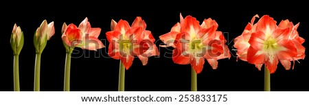 Time lapse series of red amaryllis flowers blooming. - stock photo
