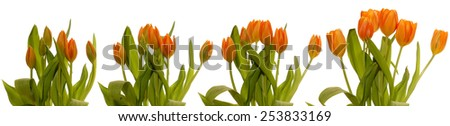 Time lapse series of tulips blooming. - stock photo