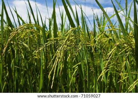 Time of the ear of rice. - stock photo