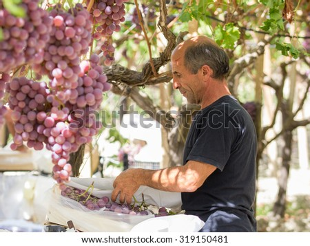 Time to harvest in Sicily. This farmer is picking black dessert grapes. The grapes will be sent to markets in northern Italy.  Natural light, picture taken in september near the town of Agrigento