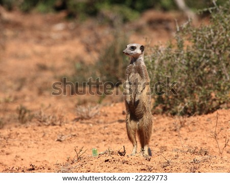 Timon surveying the scenery and keeping watch. - stock photo