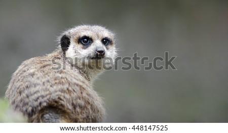Timon the meerkat - stock photo