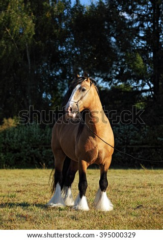 Tinker traveller pony in evening pasture