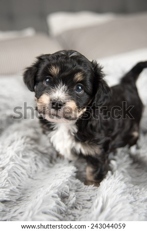 Tiny Adorable Puppy on Fluffy Gray Blanket - stock photo
