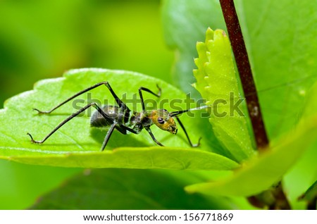 Tiny Ant Mimic Cricket Nymph on the foliage  ( Macroxiphus )  - stock photo