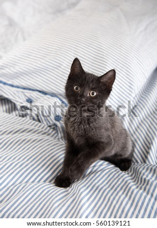 Tiny Black and Gray Kitten Sitting on Blue Striped Sheets