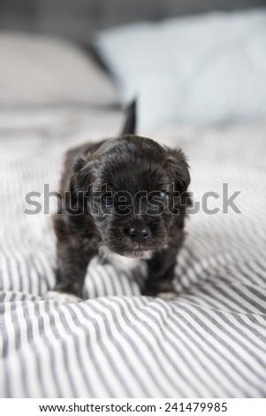 Tiny Black Puppy on Bed - stock photo