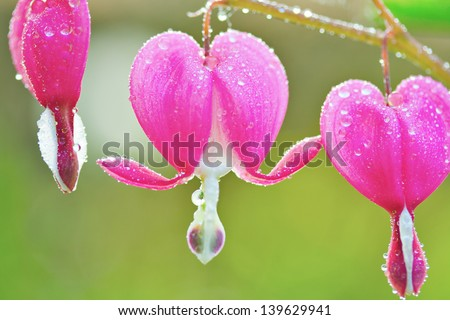 tiny bleeding heart pink flowers covered with dew drops in spring in Canada with green background - stock photo