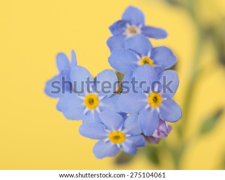 Tiny blue Forget-me-not flower on yellow background - stock photo