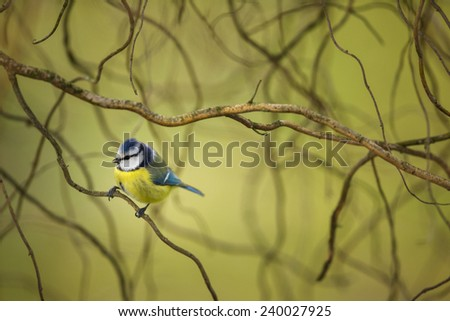 Tiny Blue tit on a feeder in a garden, hungry during winter (lat. Parus caeruleus) - stock photo