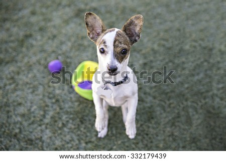 Tiny Chihuahua begging on hind legs - stock photo