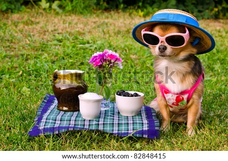 Tiny chihuahua dog wearing suit, straw hat and glasses relaxing in meadow - stock photo