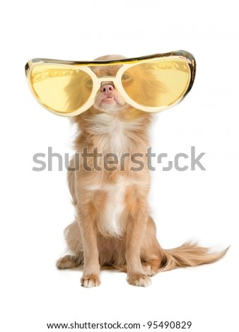 Tiny chihuahua dog with funny huge glasses - stock photo