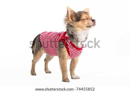 Tiny Chihuahua dressed in red and white t-shirt dreaming - stock photo