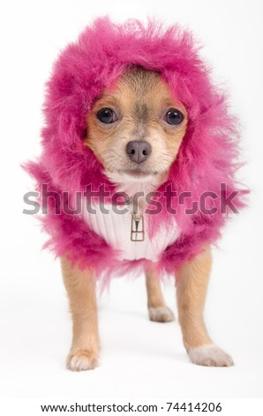 Tiny Chihuahua  dresses in fancy winter jacket and fluffy hood - stock photo