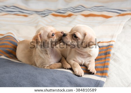 Tiny Chihuahua Puppies Playing on Striped Blanket - stock photo