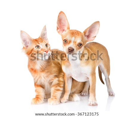 Tiny chihuahua puppy and maine coon cat  together. isolated on white background - stock photo