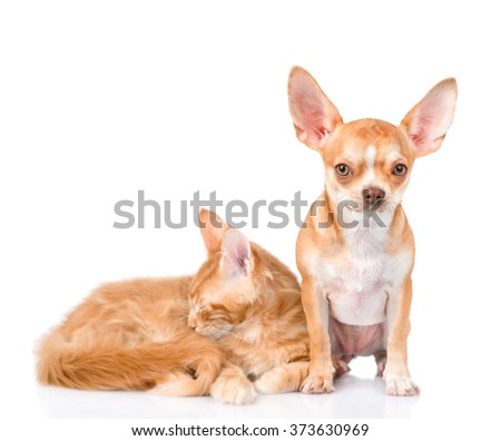 Tiny chihuahua puppy and sleeping maine coon cat together. isolated on white background - stock photo