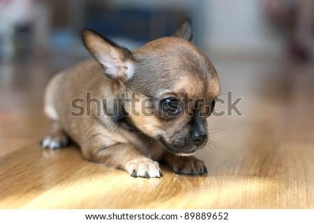 tiny chihuahua puppy on  floor close-up under natural light - stock photo
