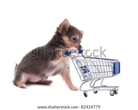 Tiny Chihuahua puppy playing with a supermarket cart - stock photo