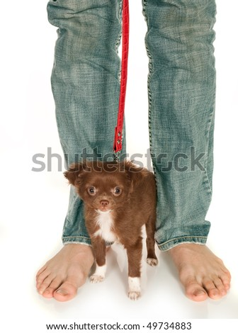 Tiny chihuahua puppy standing at his boss' large feet - stock photo