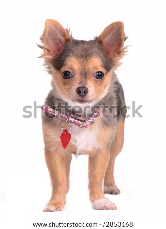 Tiny chihuahua puppy standing with collar and name tag isolated on white background - stock photo