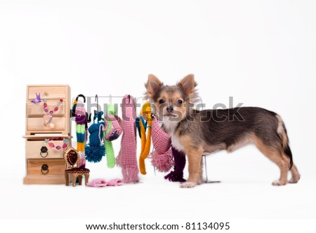 Tiny Chihuahua standing next to its cabinet and open wardrobe - stock photo