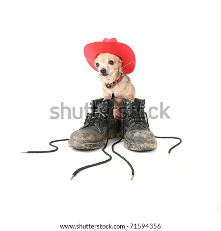 tiny chihuahua with big boots on his feet - stock photo