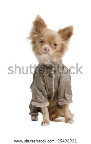 Tiny chihuahua with winter coat - stock photo