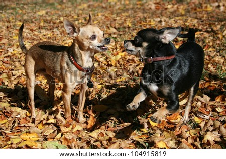 tiny chihuahuas playing in the leaves during fall or autumn - stock photo