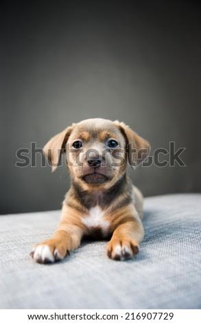 Tiny Chocolate Mixed Breed Puppy on Gray Sofa Looking at Camera - stock photo