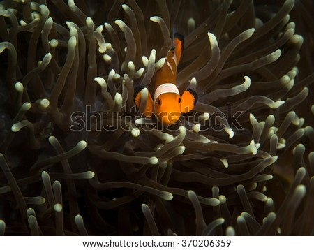 Tiny clown fish with Anemone coral - stock photo