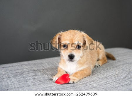 Tiny Cute Puppy on Gray Sofa with Red Heart Toy