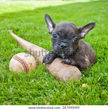 Tiny French Bulldog puppy laying in the grass outdoors with a baseball and bat. - stock photo